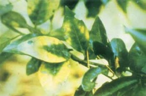 Magnesium deficiency with yellowing leaving dark green triangles on the leaf margin.  http://www.agnet.org/