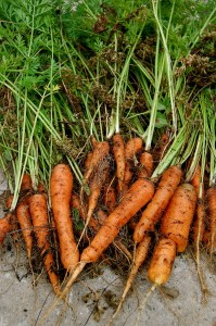 Big healthy carrots need well drained, friable soils rich in organic matter and some added Phosphorus in the form of bone or fish meal.