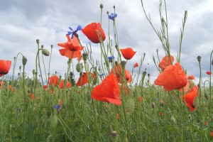 Poppies, marigolds nasturtiums and calendulas all bring colour and pollinating insects to your veggie garden.