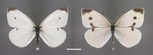 Cabbage White Butterfly Male and Female.  Ref: www.sabutterflies.org.au